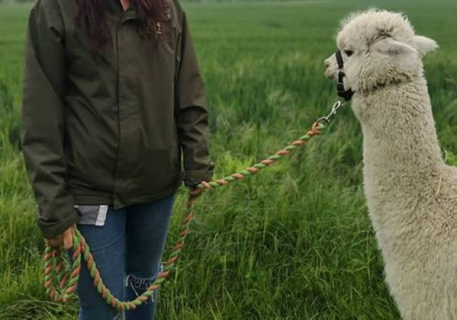 Alpaca Experience For One Kent - Famil Day Out -Suitable for 12 yrs + Image 5