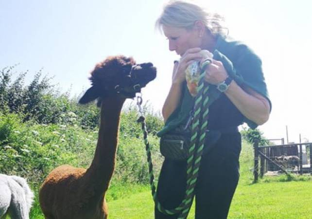 Alpaca Experience For One Kent - Famil Day Out -Suitable for 12 yrs + Image 4
