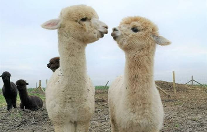 Alpaca Experience For One Kent - Famil Day Out -Suitable for 12 yrs + Image 1