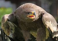 Thumbnail - Two Hour Eagle Experience in Kent, Suitable for 8 years + Image 1