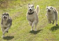 VIP Meet the Huskies & Kennel Tour Image 4 Thumbnail