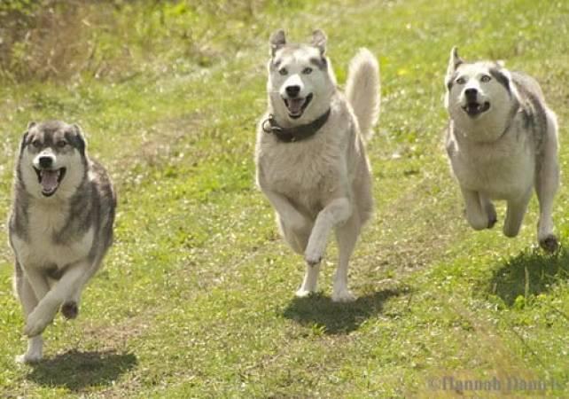VIP Meet the Huskies & VIP Kennel Tour Exprience Kent Image 5
