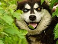 Thumbnail - VIP Meet the Huskies & VIP Kennel Tour Exprience Kent Image 2