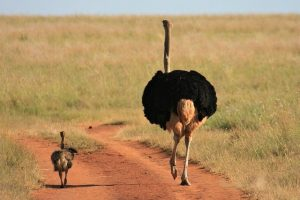 Dad and baby ostrich on fathers day