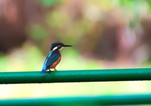 Kingfisher sitting on a green metal fence