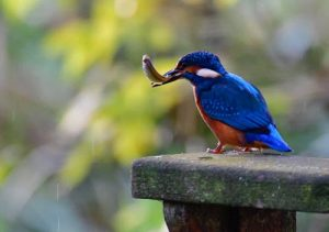 Kingfisher with bird in mouth sitting on post in countryside
